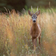 Roe deer buck standing in tall dry grass on a meadow in summer nature - PhotoDune Item for Sale