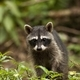 Vertical composition of a young raccoon walking on the ground in a jungle - PhotoDune Item for Sale