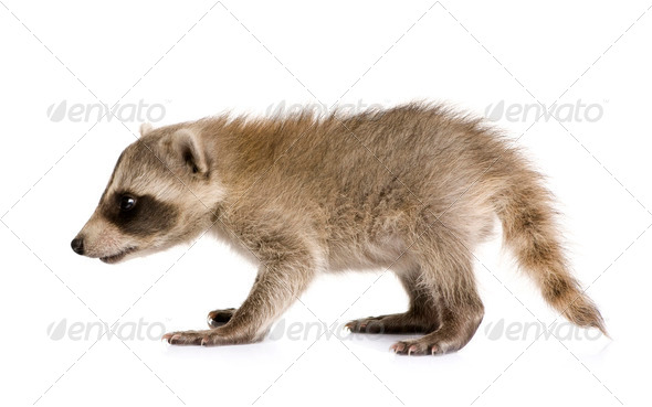 baby raccoon (6 weeks) - Procyon lotor - Stock Photo - Images