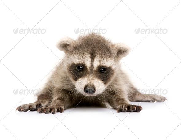 baby raccoon (6 weeks) - Procyon lotor - Stock Photo - Images