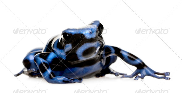 blue and Black Poison Dart Frog - Dendrobates auratus - Stock Photo - Images