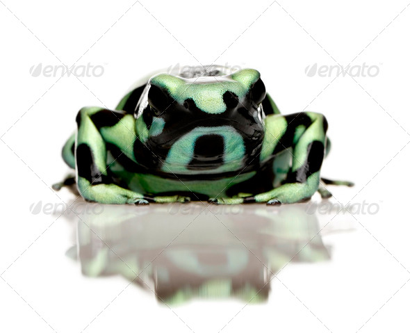green and Black Poison Dart Frog - Dendrobates auratus - Stock Photo - Images