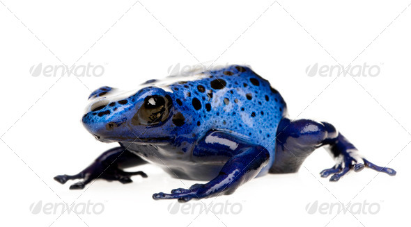 Dendrobates azureus - Stock Photo - Images