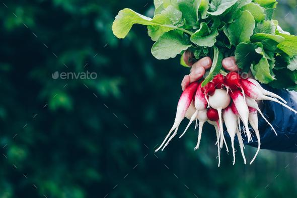 Fresh radish. Farmers hands holding harvested organic bunch of radishes. - Stock Photo - Images