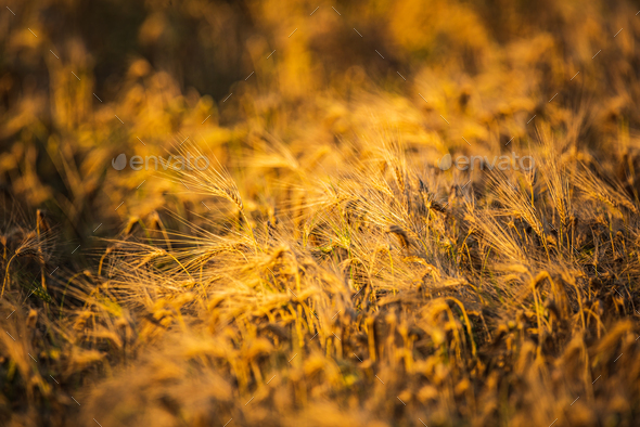 Wheat field closeup shoot an sunny day - Stock Photo - Images