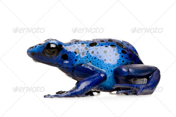 Dendrobates azureus - Stock Photo - Images