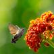 Hummingbird hawk-moth flying to a lantana flower - PhotoDune Item for Sale