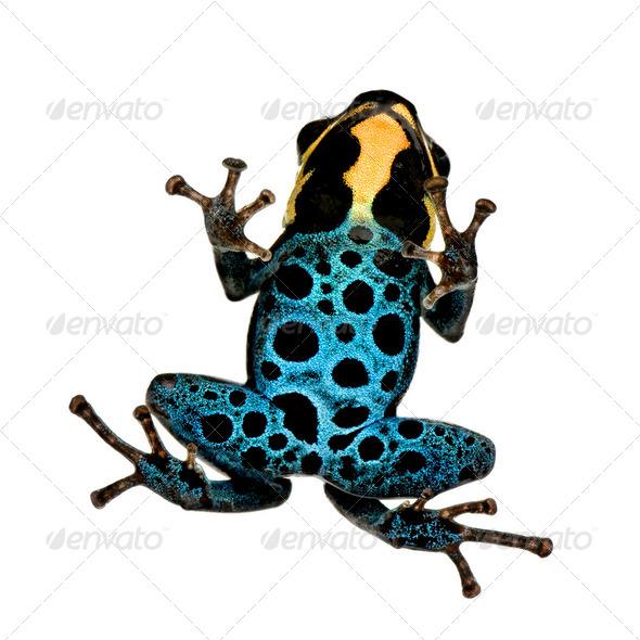 Poison Dart Frog - ranitomeya amazonica or Dendrobates amazonicus - Stock Photo - Images