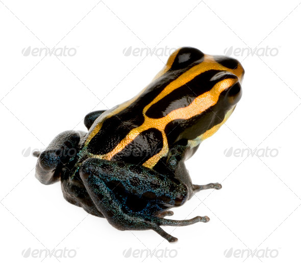 Poison Dart Frog - ranitomeya amazonica or Dendrobates amazonicus - Stock Photo - Images