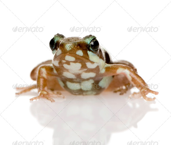 Phantasmal poison frog - Epipedobates tricolor - Stock Photo - Images