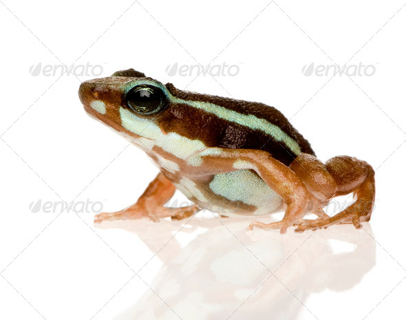 Phantasmal poison frog - Epipedobates tricolor - Stock Photo - Images