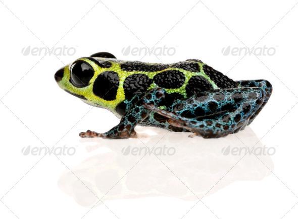 Imitating Poison Frog - Ranitomeya imitator - Stock Photo - Images