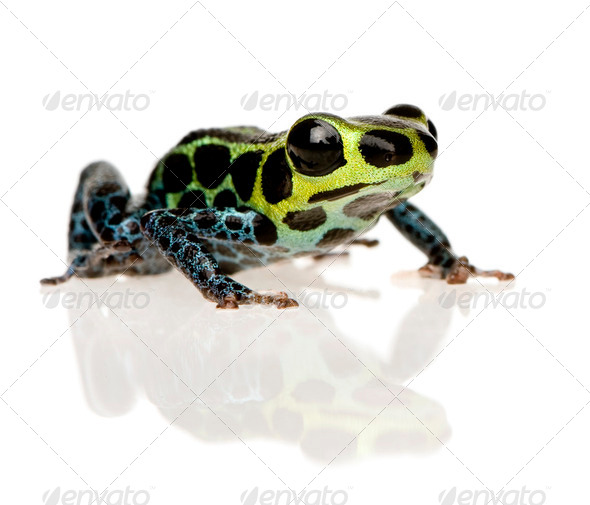 Imitating Poison Frog - Ranitomeya imitator - Stock Photo - Images