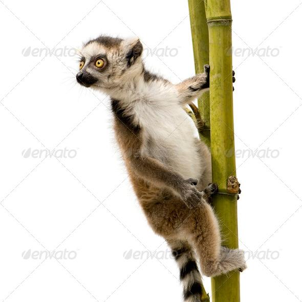 Ring-tailed Lemur (6 weeks) - Lemur catta - Stock Photo - Images