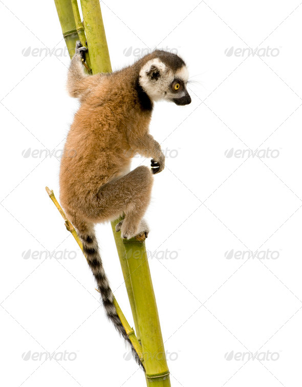 Ring-tailed Lemur (6 weeks) - Lemur catta - Stock Photo - Images