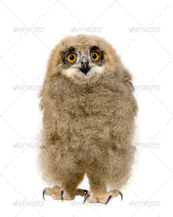 Eurasian Eagle Owl - Bubo bubo (6 weeks) - Stock Photo - Images