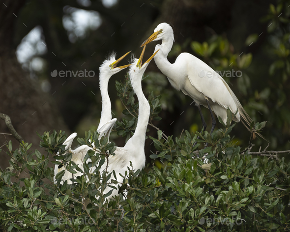 Egret and Chicks - Stock Photo - Images
