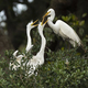 Egret and Chicks - PhotoDune Item for Sale