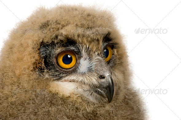 Eurasian Eagle Owl - Bubo bubo (6 weeks) - Stock Photo - Images