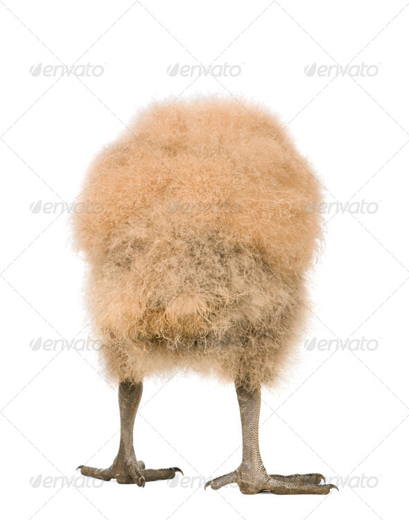Vautour Urubu (33 days) - Coragyps atratus - Stock Photo - Images