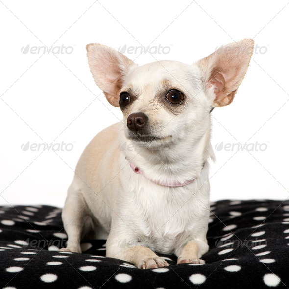 chihuahua (1 year) - Stock Photo - Images