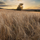 Wheat Field In The Sunset 3 - PhotoDune Item for Sale