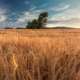 Wheat Field In The Sunset 4 - PhotoDune Item for Sale
