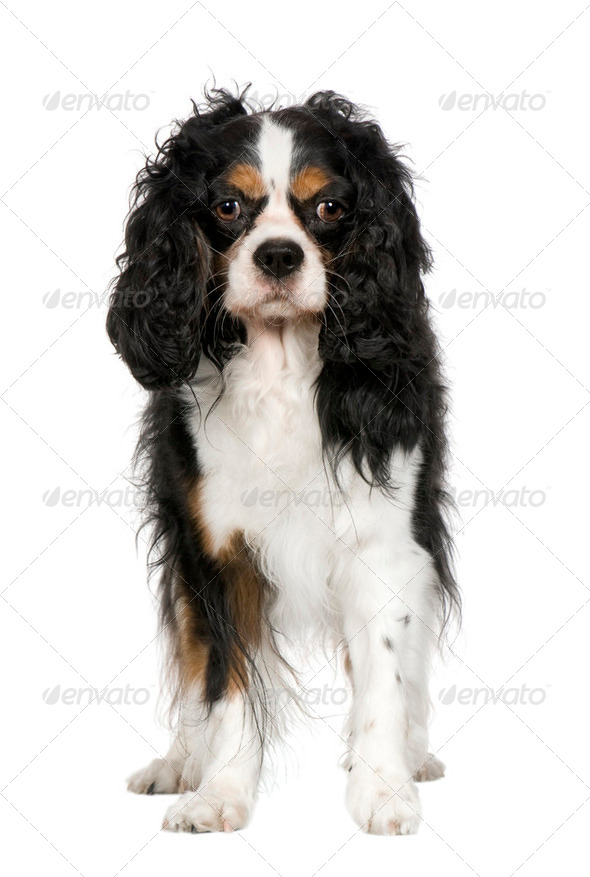 Cavalier King Charles Spaniel (5 years) - Stock Photo - Images