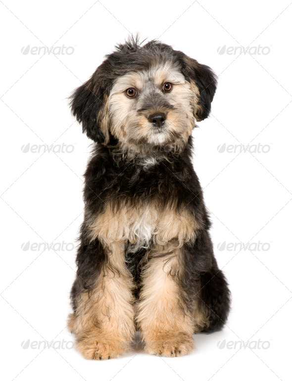 Griffon (3 months) - Stock Photo - Images