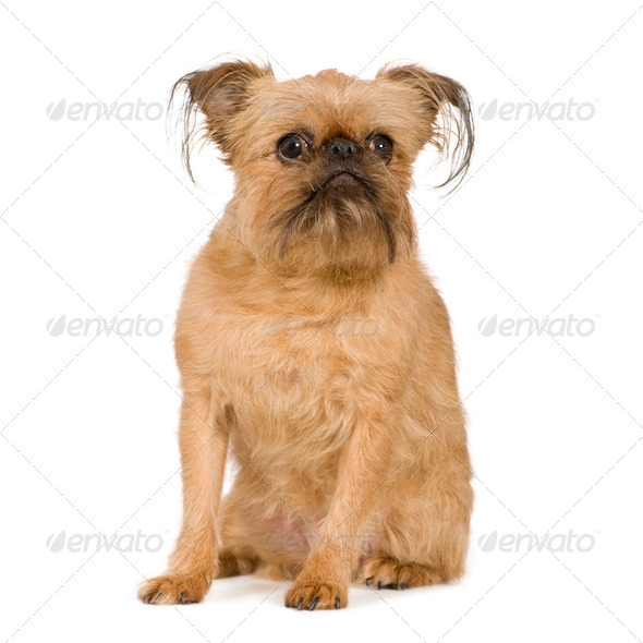 Griffon Bruxellois (9 years) - Stock Photo - Images