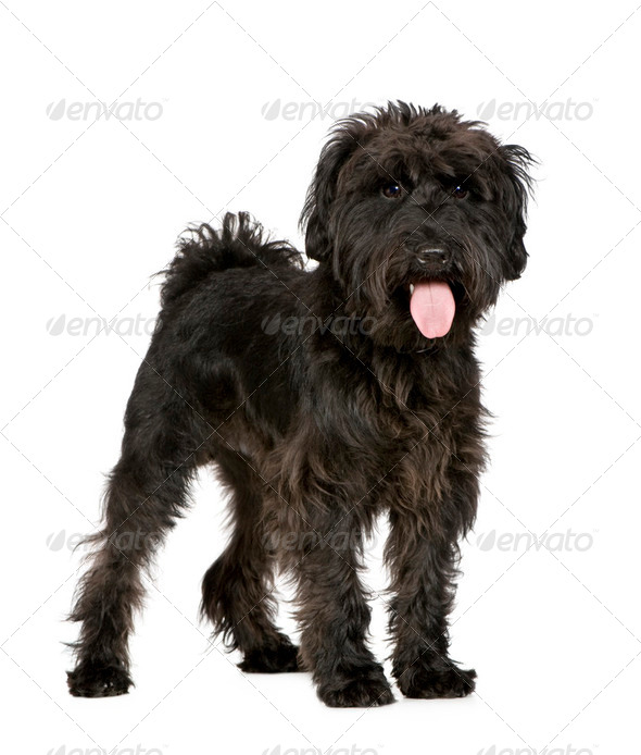 Schnauzer (10 months) - Stock Photo - Images