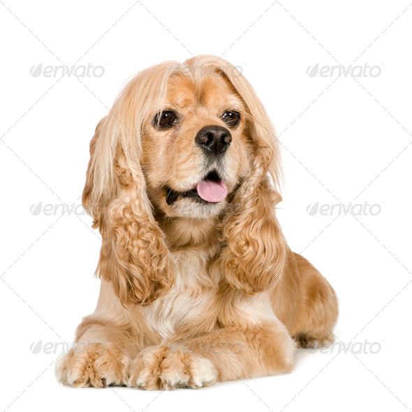 american Cocker Spaniel (3 years) - Stock Photo - Images