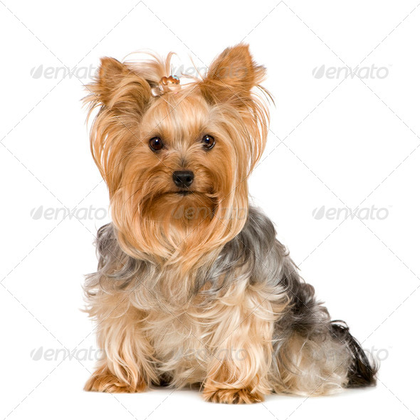 Yorkshire Terrier (2 years) - Stock Photo - Images