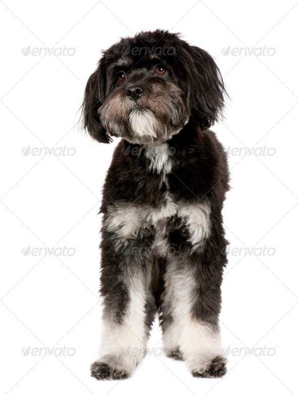Tibetan Terrier (9 months) - Stock Photo - Images
