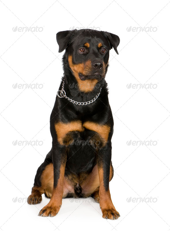 rottweiler (1 year) - Stock Photo - Images