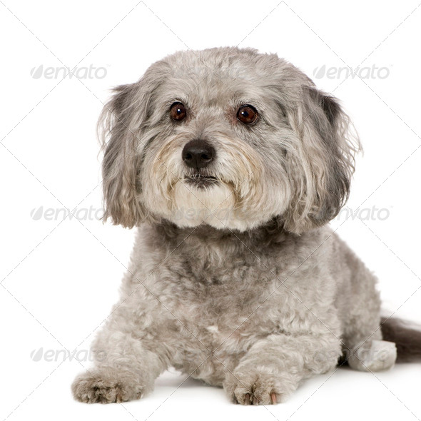 Griffon (8 years) - Stock Photo - Images