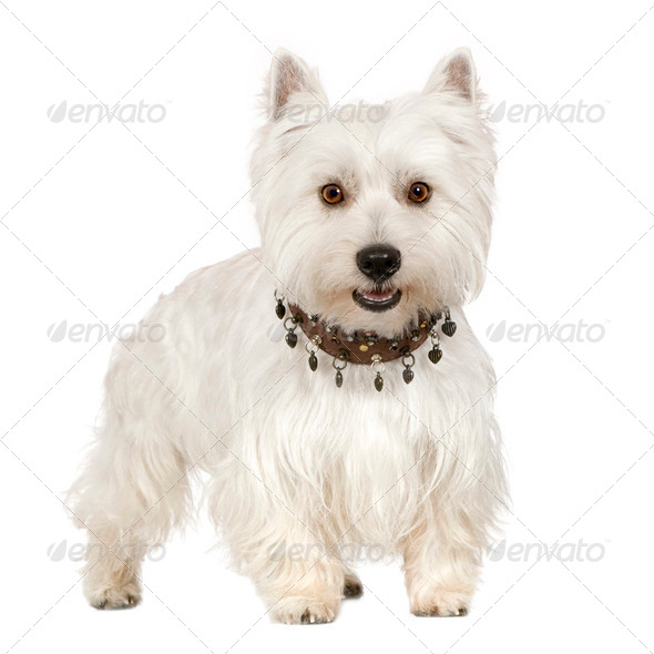 West Highland White Terrier (18 months) - Stock Photo - Images