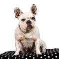 French Bulldog (3 years)