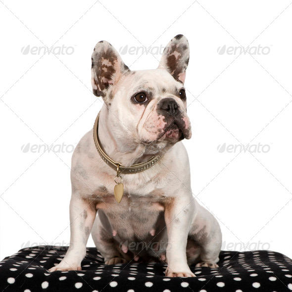 French Bulldog (3 years) - Stock Photo - Images