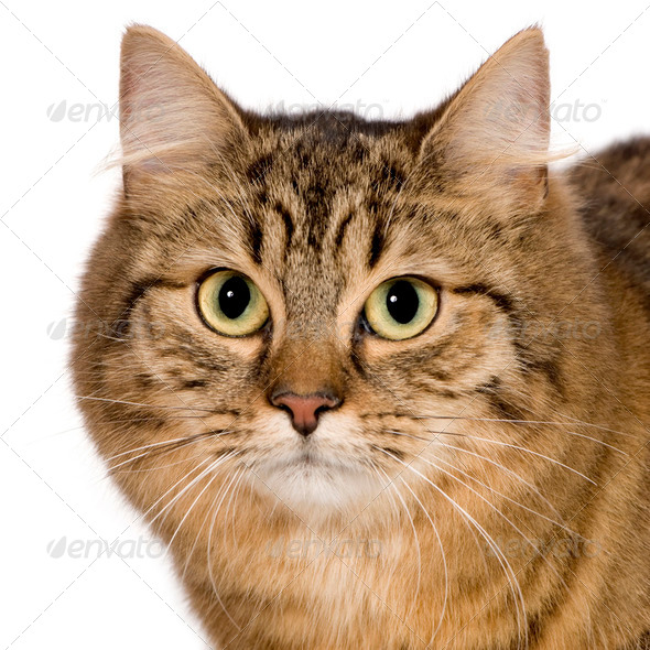 European cat (9 months) - Stock Photo - Images