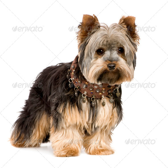 Yorkshire Terrier (1 year) - Stock Photo - Images