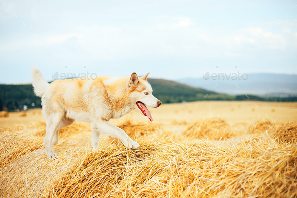 Siberian husky dog sit on haystack on the background rural field, green forest and sky with clouds - Stock Photo - Images