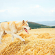 Siberian husky dog sit on haystack on the background rural field, green forest and sky with clouds - PhotoDune Item for Sale
