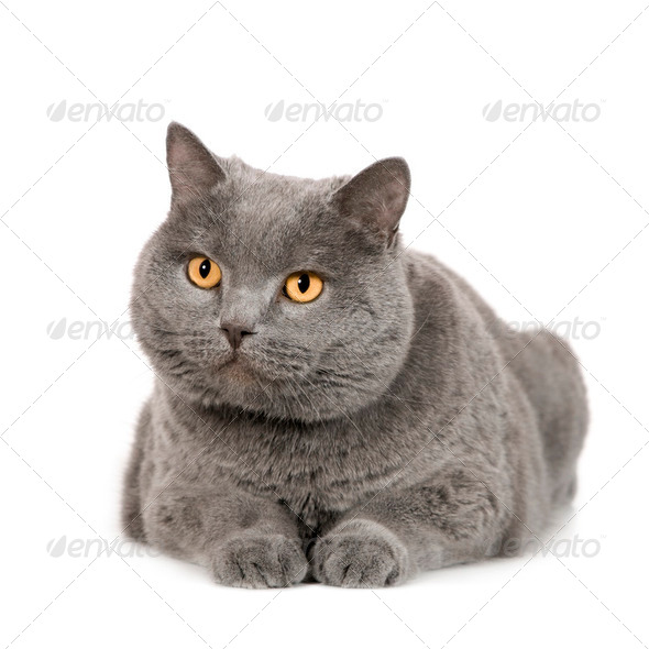 Chartreux (7 years) - Stock Photo - Images