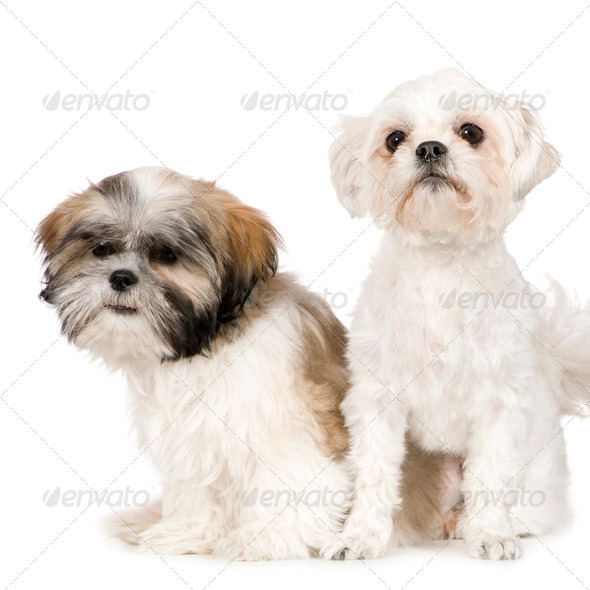 Shih Tzu and Lhasa Apso - Stock Photo - Images