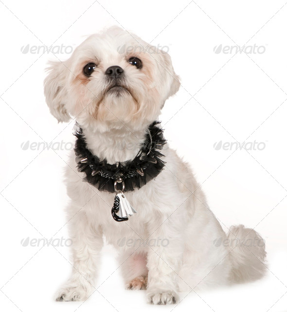 Lhasa Apso (2 years) - Stock Photo - Images