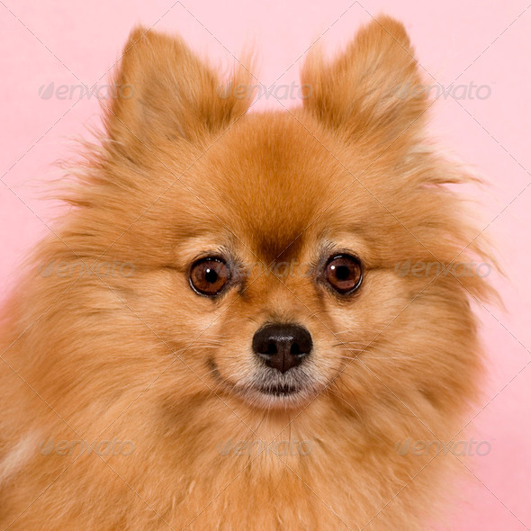 Spitz (6 years) - Stock Photo - Images