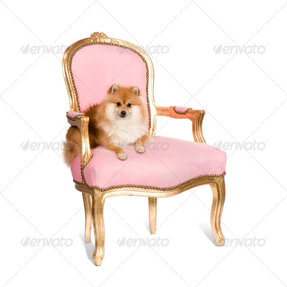 Pomeranian (10 months) - Stock Photo - Images