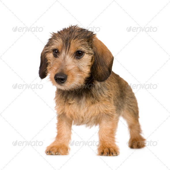 Dachshund (4 months) - Stock Photo - Images
