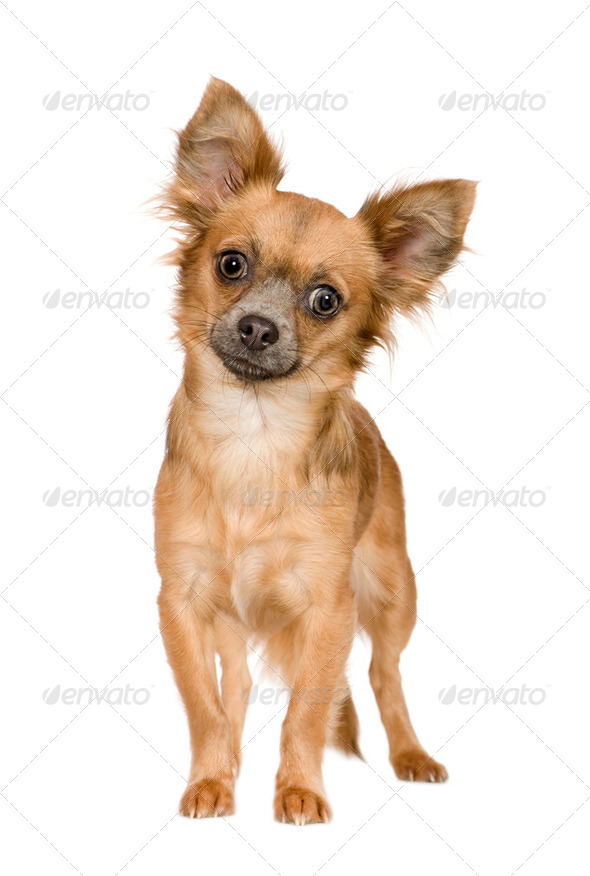 chihuahua (18 months) - Stock Photo - Images
